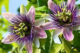 fleurs de la passion